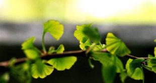 Ginkgo-Ratgeber: Herkunft, Wirkungsweise & Produkte